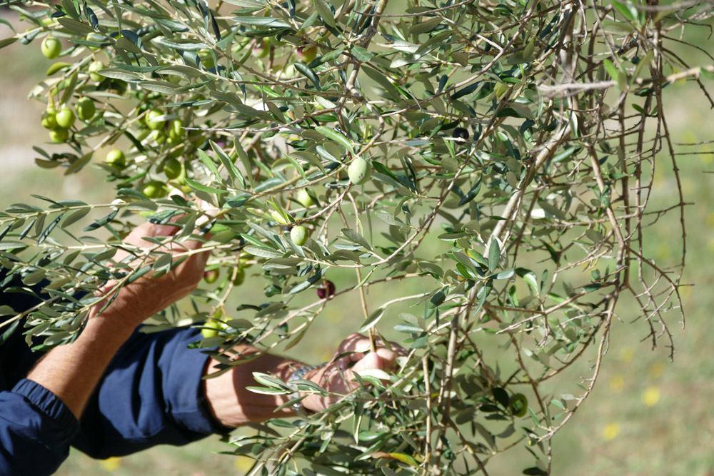 Berba maslina - blagoslov prirode i čovjeka